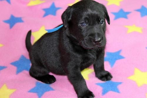 ラブラドールレトリバーの子犬(ID:1247611144)の3枚目の写真/更新日:2017-11-15