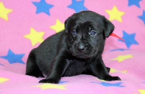 ラブラドールレトリバーの子犬(ID:1247611145)の1枚目の写真/更新日:2017-11-15