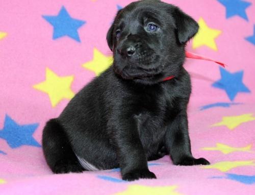 ラブラドールレトリバーの子犬(ID:1247611145)の2枚目の写真/更新日:2017-11-15