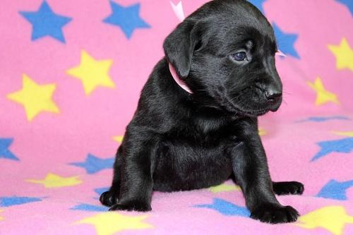 ラブラドールレトリバーの子犬(ID:1247611146)の2枚目の写真/更新日:2017-11-15