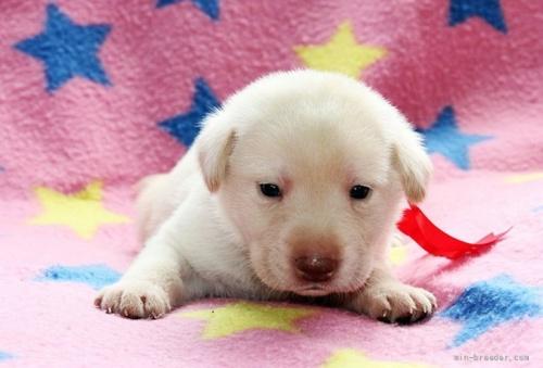 ラブラドールレトリバーの子犬(ID:1247611148)の1枚目の写真/更新日:2018-01-19
