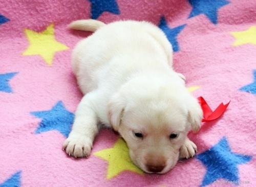 ラブラドールレトリバーの子犬(ID:1247611148)の2枚目の写真/更新日:2018-01-19