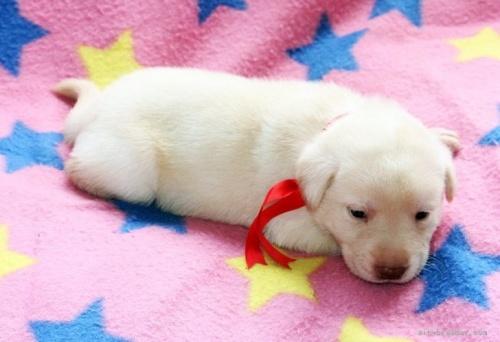 ラブラドールレトリバーの子犬(ID:1247611148)の3枚目の写真/更新日:2021-10-01