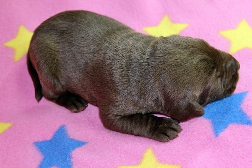 ラブラドールレトリバーの子犬(ID:1247611149)の3枚目の写真/更新日:2017-12-18