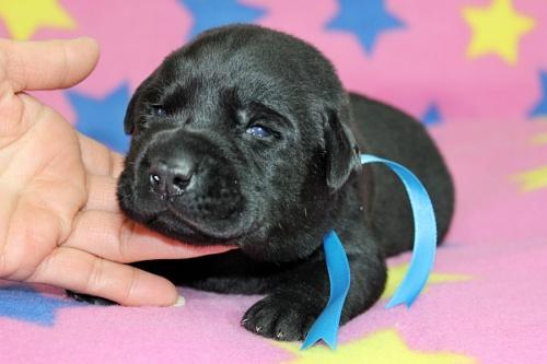 ラブラドールレトリバーの子犬(ID:1247611150)の2枚目の写真/更新日:2017-12-18