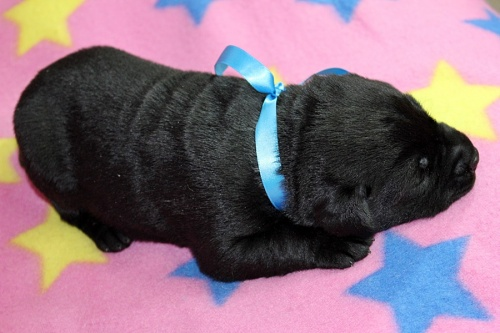 ラブラドールレトリバーの子犬(ID:1247611150)の3枚目の写真/更新日:2017-12-18