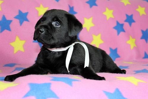 ラブラドールレトリバーの子犬(ID:1247611151)の2枚目の写真/更新日:2018-01-19