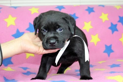 ラブラドールレトリバーの子犬(ID:1247611151)の3枚目の写真/更新日:2018-01-19