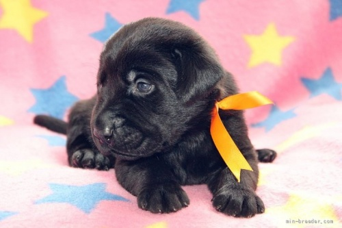 ラブラドールレトリバーの子犬(ID:1247611152)の2枚目の写真/更新日:2018-01-19