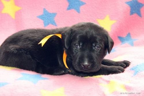 ラブラドールレトリバーの子犬(ID:1247611152)の3枚目の写真/更新日:2018-01-19