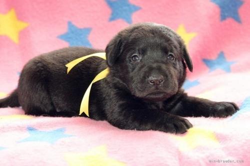 ラブラドールレトリバーの子犬(ID:1247611153)の1枚目の写真/更新日:2021-10-01