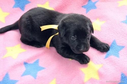 ラブラドールレトリバーの子犬(ID:1247611153)の2枚目の写真/更新日:2018-01-19