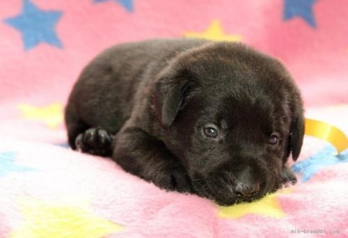 ラブラドールレトリバーの子犬(ID:1247611153)の3枚目の写真/更新日:2018-01-19