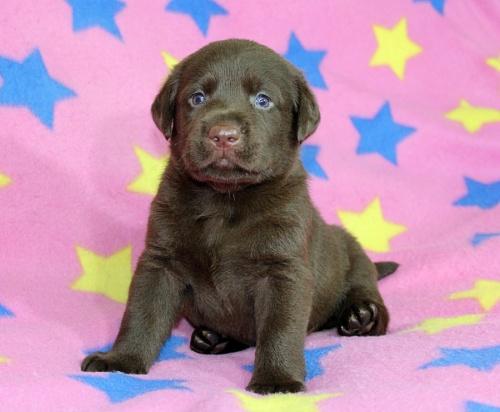 ラブラドールレトリバーの子犬(ID:1247611154)の1枚目の写真/更新日:2018-08-08