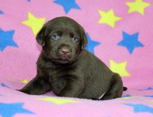 ラブラドールレトリバーの子犬(ID:1247611154)の2枚目の写真/更新日:2018-08-08