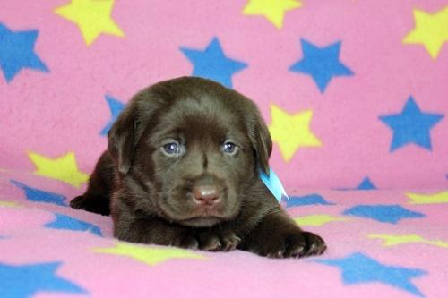 ラブラドールレトリバーの子犬(ID:1247611155)の2枚目の写真/更新日:2018-08-08