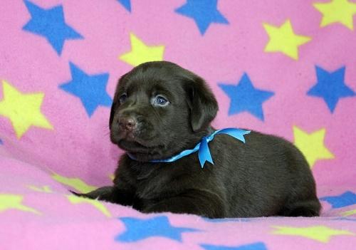 ラブラドールレトリバーの子犬(ID:1247611155)の3枚目の写真/更新日:2018-08-08