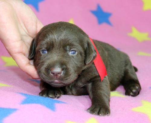 ラブラドールレトリバーの子犬(ID:1247611156)の3枚目の写真/更新日:2018-07-27