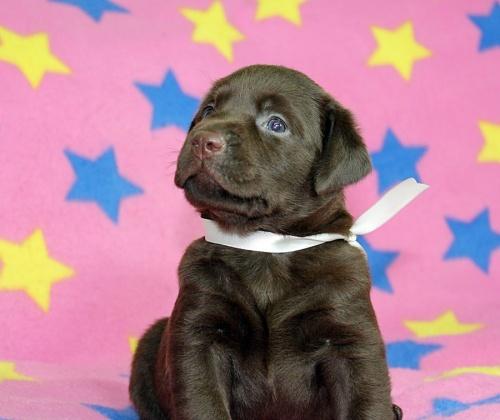 ラブラドールレトリバーの子犬(ID:1247611159)の1枚目の写真/更新日:2018-08-08
