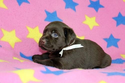 ラブラドールレトリバーの子犬(ID:1247611159)の2枚目の写真/更新日:2018-08-08