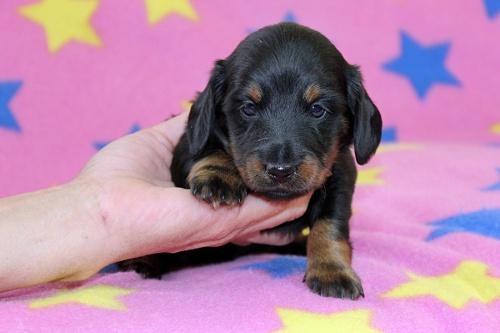 ミニチュアダックスフンド(ロング)の子犬(ID:1247611161)の1枚目の写真/更新日:2018-10-16