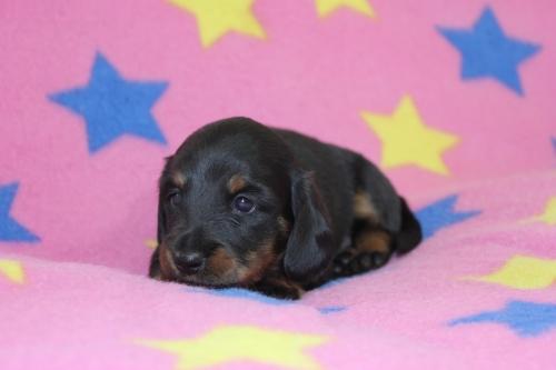 ミニチュアダックスフンド(ロング)の子犬(ID:1247611161)の4枚目の写真/更新日:2018-10-16