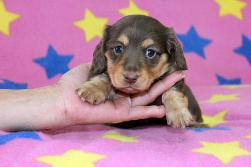 ミニチュアダックスフンド(ロング)の子犬(ID:1247611162)の1枚目の写真/更新日:2018-10-16