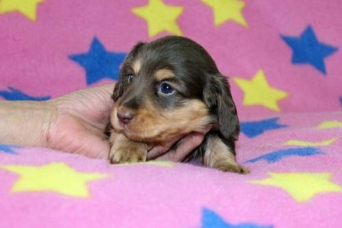 ミニチュアダックスフンド(ロング)の子犬(ID:1247611162)の2枚目の写真/更新日:2018-10-16