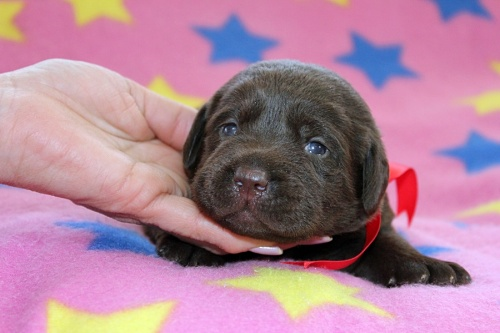 ラブラドールレトリバーの子犬(ID:1247611164)の1枚目の写真/更新日:2019-02-06