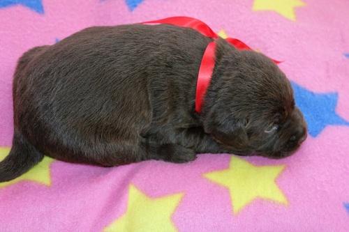 ラブラドールレトリバーの子犬(ID:1247611164)の3枚目の写真/更新日:2019-02-06