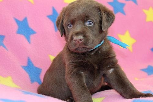 ラブラドールレトリバーの子犬(ID:1247611169)の2枚目の写真/更新日:2019-02-06