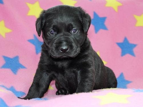 ラブラドールレトリバーの子犬(ID:1247611170)の2枚目の写真/更新日:2019-05-20
