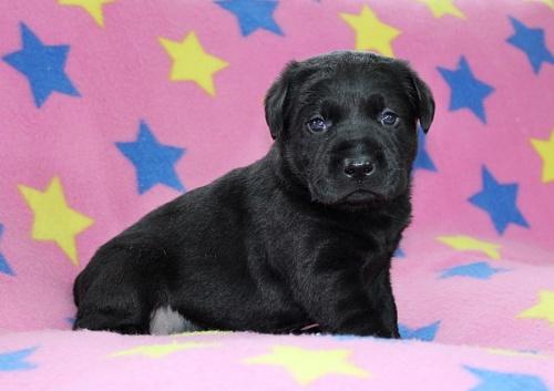 ラブラドールレトリバーの子犬(ID:1247611170)の3枚目の写真/更新日:2019-05-20