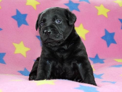 ラブラドールレトリバーの子犬(ID:1247611170)の4枚目の写真/更新日:2019-05-20