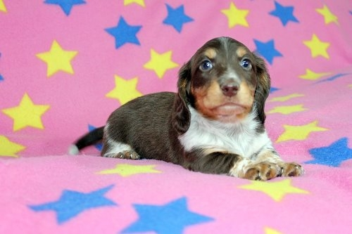ミニチュアダックスフンド(ロング)の子犬(ID:1247611175)の1枚目の写真/更新日:2020-01-03