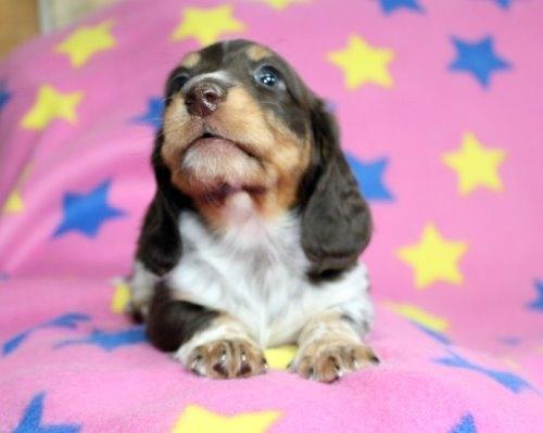 ミニチュアダックスフンド(ロング)の子犬(ID:1247611175)の3枚目の写真/更新日:2020-01-03