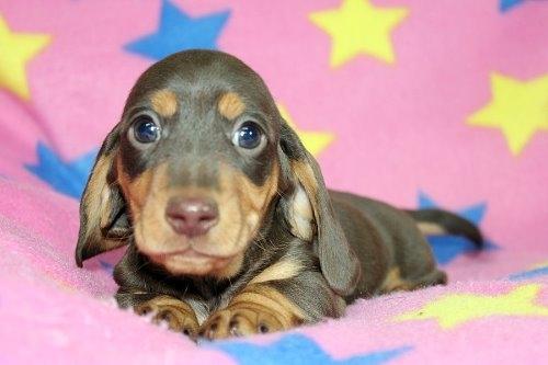 ミニチュアダックスフンド(スムース)の子犬(ID:1247611176)の1枚目の写真/更新日:2020-01-03
