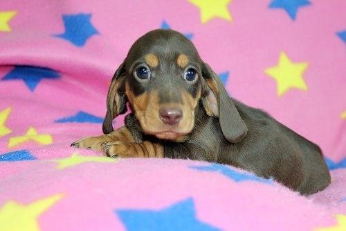 ミニチュアダックスフンド(スムース)の子犬(ID:1247611176)の3枚目の写真/更新日:2020-01-03