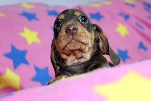 ミニチュアダックスフンド(スムース)の子犬(ID:1247611176)の4枚目の写真/更新日:2020-01-03
