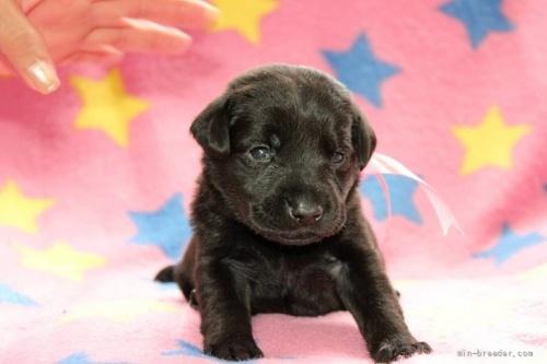 ラブラドールレトリバーの子犬(ID:1247611177)の1枚目の写真/更新日:2020-01-03