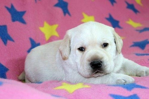 ラブラドールレトリバーの子犬(ID:1247611180)の1枚目の写真/更新日:2021-02-23