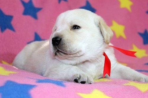 ラブラドールレトリバーの子犬(ID:1247611181)の1枚目の写真/更新日:2021-02-23