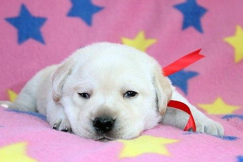 ラブラドールレトリバーの子犬(ID:1247611181)の3枚目の写真/更新日:2021-02-23
