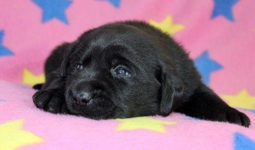 ラブラドールレトリバーの子犬(ID:1247611182)の3枚目の写真/更新日:2021-02-23