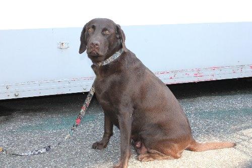 ラブラドールレトリバーの子犬(ID:1247611182)の4枚目の写真/更新日:2021-02-23
