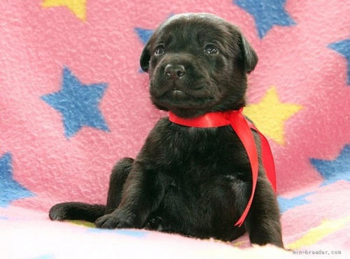 ラブラドールレトリバーの子犬(ID:1247611183)の1枚目の写真/更新日:2021-02-23