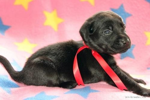 ラブラドールレトリバーの子犬(ID:1247611183)の2枚目の写真/更新日:2021-02-23
