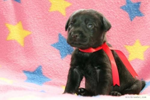 ラブラドールレトリバーの子犬(ID:1247611183)の3枚目の写真/更新日:2021-02-23