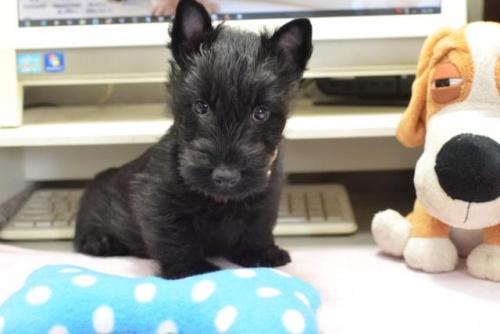 スコティッシュテリアの子犬(ID:1247711001)の1枚目の写真/更新日:2019-03-01