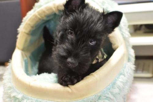 スコティッシュテリアの子犬(ID:1247711001)の2枚目の写真/更新日:2019-03-01